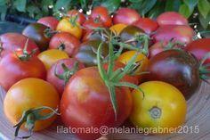 Kurzanleitung Tomatenanbau (Foto:De Berao bunt) #lilatomate