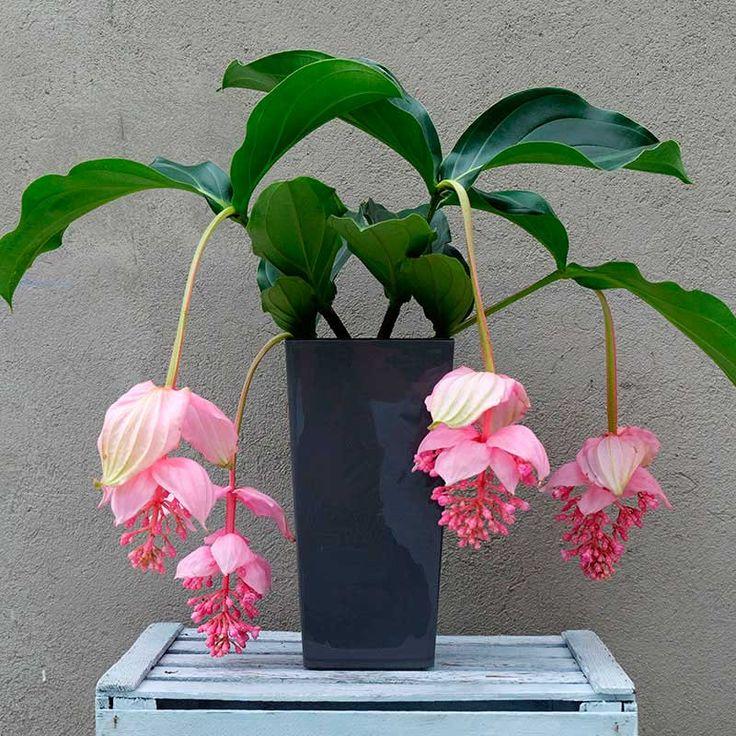 Exótica y llamativa, la medinilla es una planta de interior perfecta para la decoración del hogar. Envía este original regalo a tus seres queridos como agradecimiento o como detalle para felicitar por un acontecimiento.