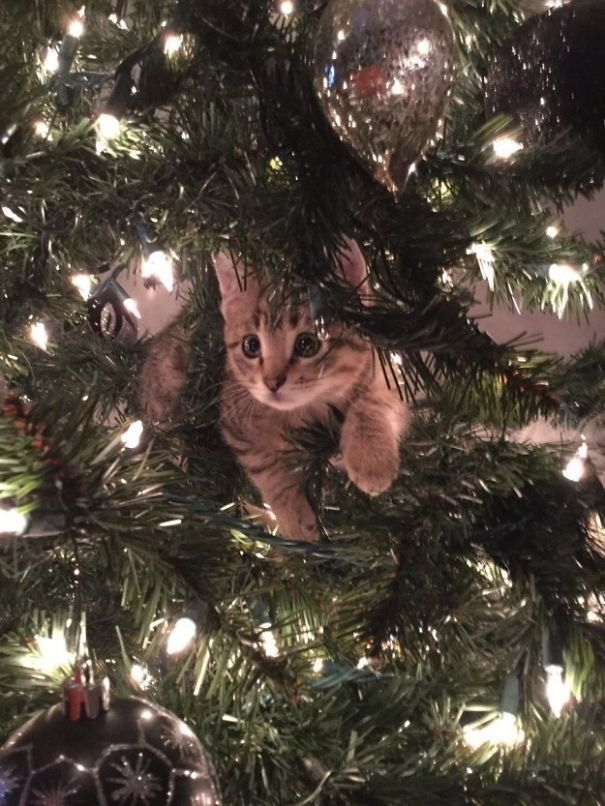 SANTA ???? #funny cute kitty kitten cat >>> I miss seeing cat's climbing and hanging out in the tree