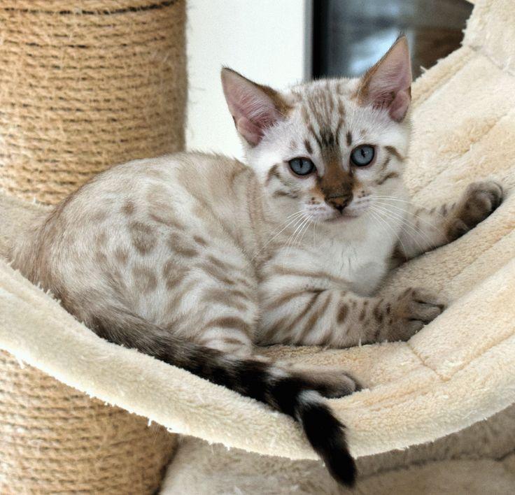 Le prix d'un chaton Bengal va dépendre du sexe, du pedigree des parents, de la conformité aux standards de la race, etc.  Prix d'un mâle Bengal : 400 à 2500€ Prix d'une femelle Bengal : 500 à 2500€  #NATURE