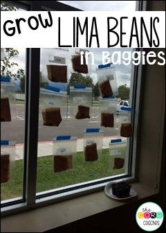 Grow Lima Beans in bags in your classroom this year! Students love being ablet o see the seeds germinate.