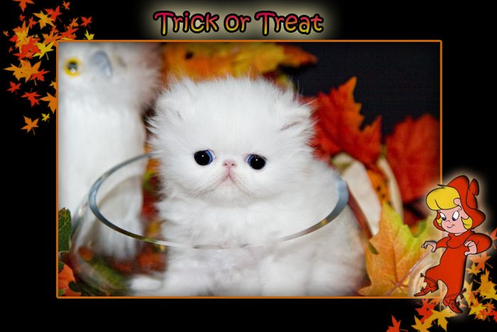 Persian kittens Blue Eyed White Persian Cats For Sale Himalayan Kittens For Sale Exotic kittens Furrbcats - Past Kittens