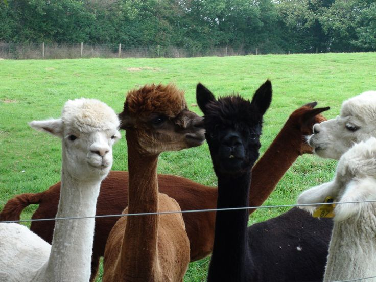 Alpaccas 5