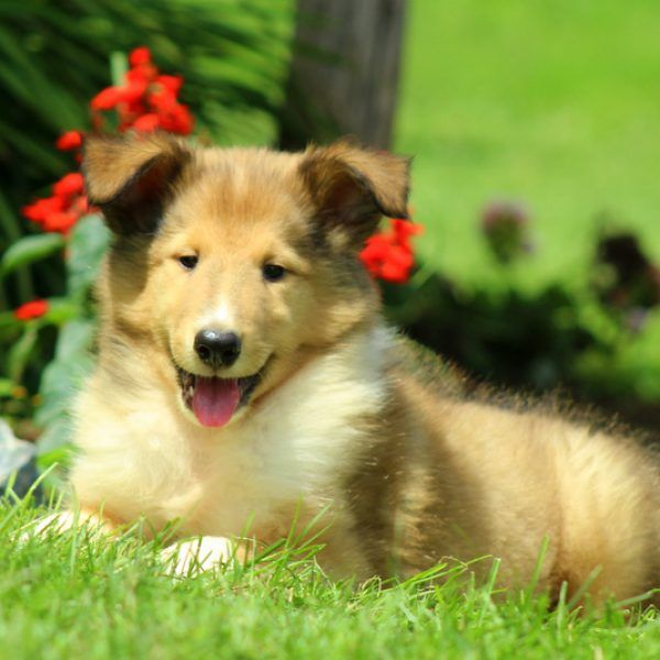 Collie Puppies For Sale   Collie Dog Breed Profile   Greenfield Puppies