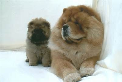 chow chow and puppy.