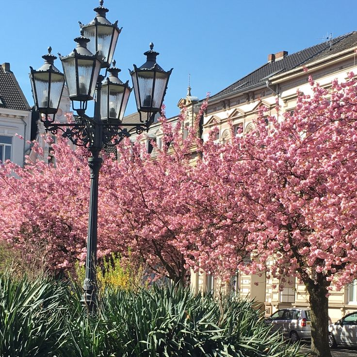 Kirschblüte, Alexander Platz, Krefeld