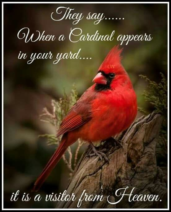 When a cardinal appears in your yard it is a visitor from Heaven.