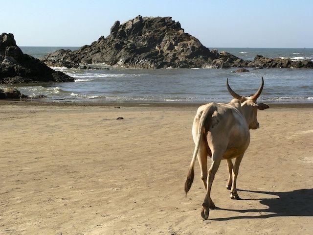 Vaca na praia de Goa, Índia