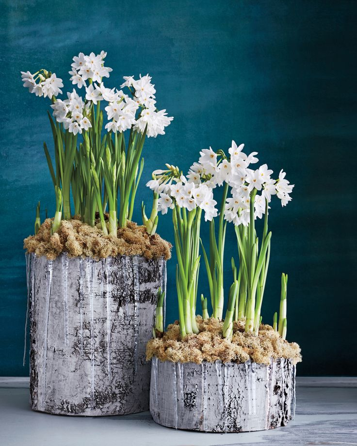 In a planting inspired by snowy landscapes, paperwhites pop in birch pots.