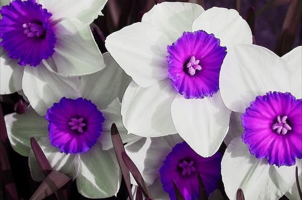 Purple Narcissus Flower | Above is a sample picture of some Narcissus flowers, named after the ...