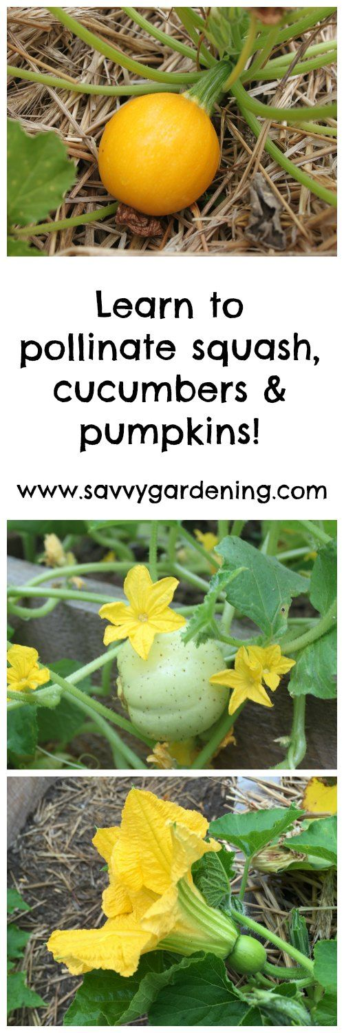 Learn how to pollinate pumpkins, squash and cucumbers