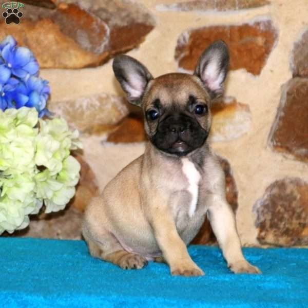 Patrick French Bulldog Puppy For Sale In Pennsylvania Bulldog Puppies French Bulldog Puppy French Bulldog Puppies