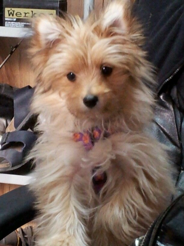 Pomeranian Yorkie mix, Holly at 5 months