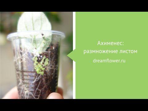 Ахименес: размножение листом (промежуточные результаты)
