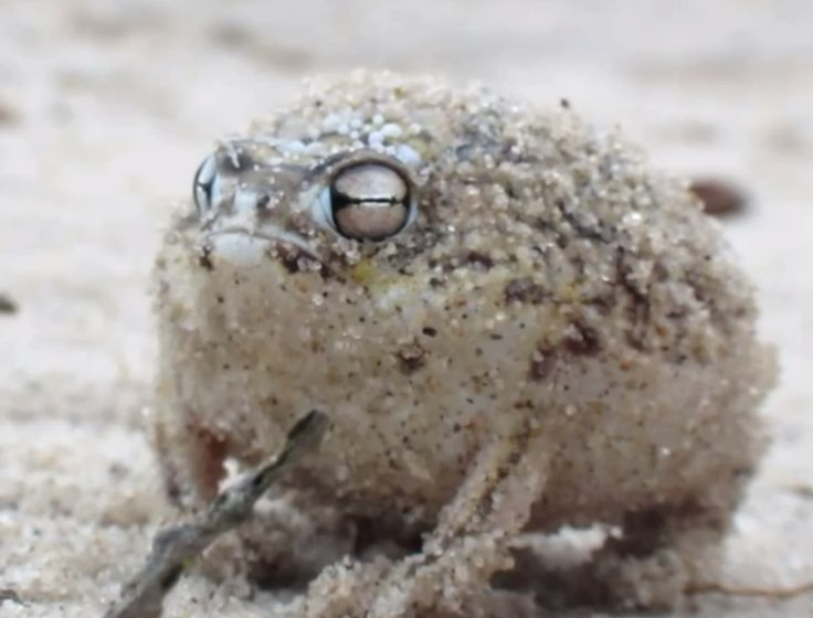 """OMG!  """"Cute"""" is not really my thing, but this desert rain #frog (a #vulnerable #species due to human development activity) is super dang cute."""