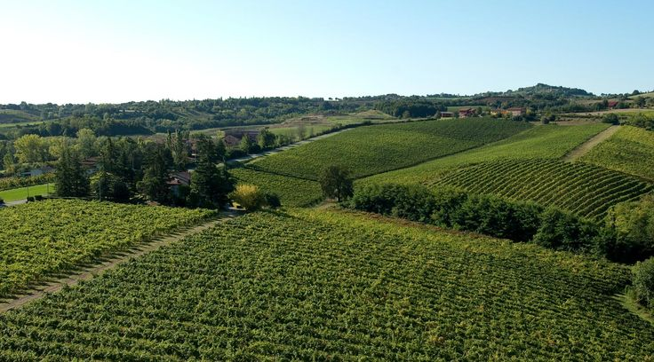 Our beautiful #vineyars during the #summertime #umbertocesari #italy #wine