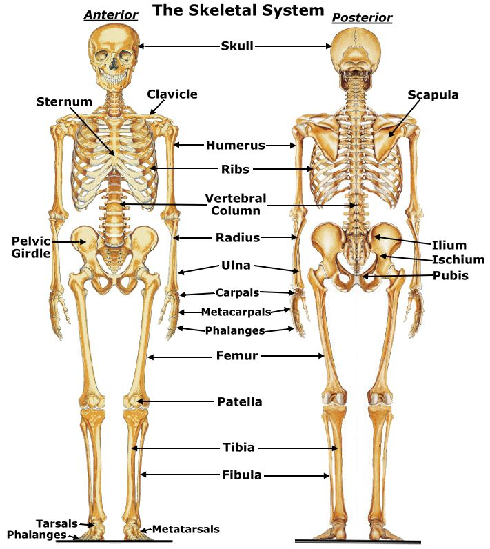 Picture Anatomy Pinterest Skeletal System Anatomy And Human Body