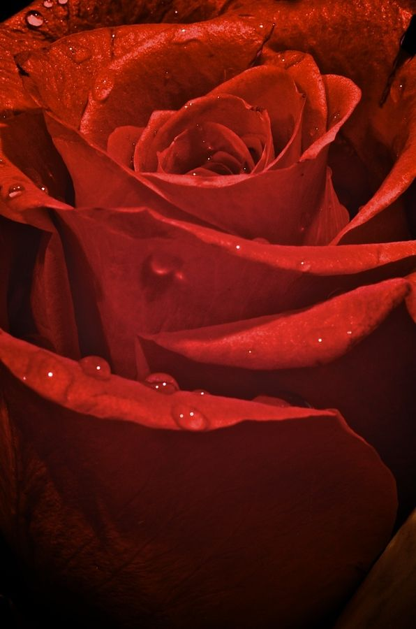 My Rose... by Frank Vacante