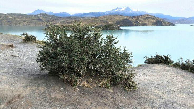 Calafate, Parque Nacional Torres del Paine