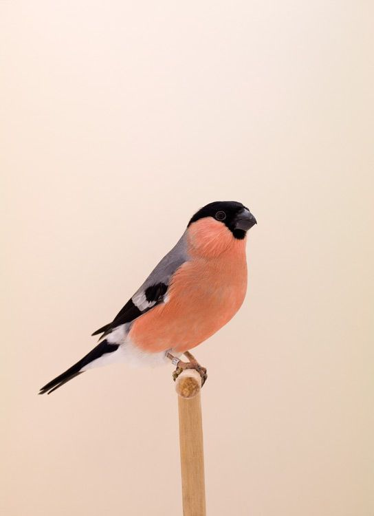 Siberian Bullfinch by Luke Stephenson part of The Incomplete Dictionary of Show Birds series