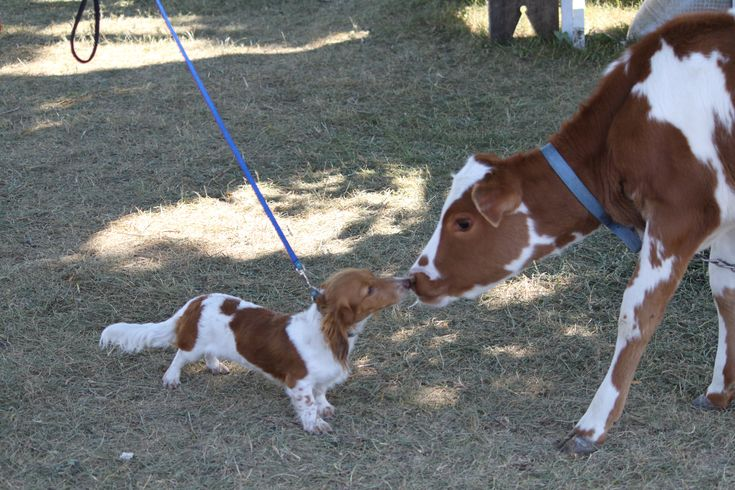 Are we kissing cousins? Miniture long-haired PieBald Dashshund