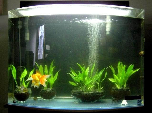 38-gallon Bare-bottom/Part-planted Goldfish tank - tank diagrams & fish photos