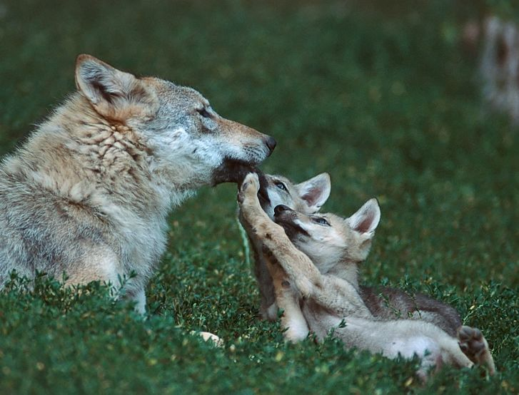 """sisterofthewolves:  Picture by Tilman Wischuf     """"Animals are not property or """"things"""" but rather living organisms, subjects of a life, who are worthy of our compassion, respect, friendship, and support."""" MARC BEKOFF, Minding Animal"""