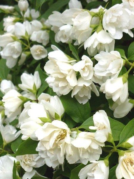 17 meilleures images propos de dans mon jardin sur pinterest jardins plates bandes - Philadelphus manteau d hermine ...