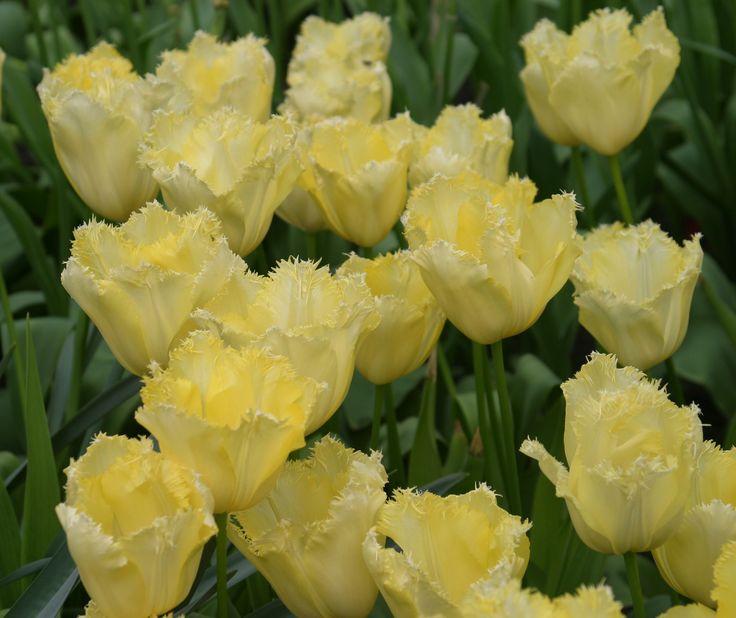 KH prachtig zacht geel