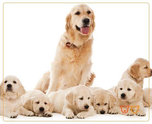 Reprodução e Apoio a Criadores - Se é criador de cães e/ou gatos, informe-se sobre as condições vantajosas que o Hospital Veterinário Vasco da Gama lhe oferece. http://veterinario24horas.pt/servicos/servico-de-reproducao-e-apoio-a-criadores