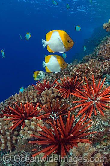 Pyramid Butterflyfish (Hemitaurichthys polylepis) and Slate Pencil Urchins (Heterocentrotus mamillatus)