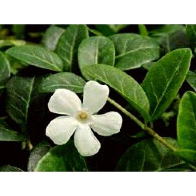 https://roslinowo.pl/byliny-sadzonki/byliny-zimozielone/barwinek-pospolity-mniejszy-alba-vinca-minor-byliny-kwiaty