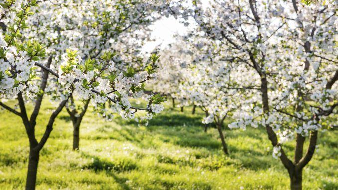 Tratamente care se aplică pomilor fructiferi înfloriți, respectiv acele stropiri care se efectuează în livadă în lunile aprilie-mai, sunt foarte importante, iar pe lângă acestea sunt necesare
