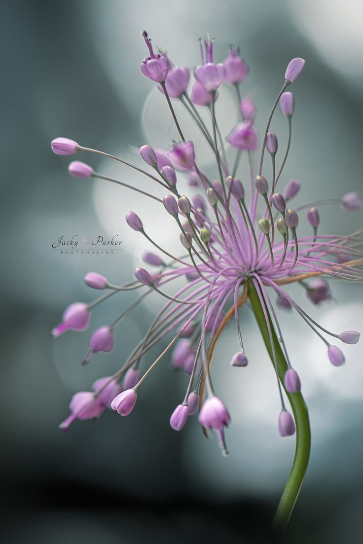 680 best flower photography my work images on pinterest flower allium flower by jacky parker photo 173658387 izmirmasajfo Image collections
