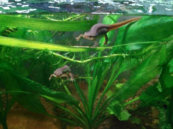 Regeneration and the Neurotrophic Phenomenon in Amphibians