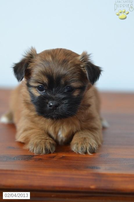 Shorkie Puppy for Sale *Like 3 Million Animals being EUTHANIZED each year isn't enough?! GET A JOB!!!