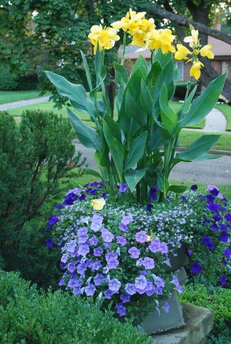 Yellow cannas is underplanted with Surfinia blue sky and Royal Velvet petunias.  They mix with an alternate planting of scaveola.