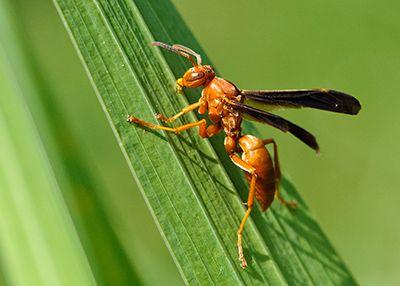 Red Wasps - Orkin