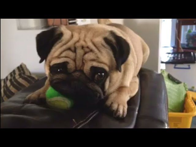 Funny pug video Compilation of funny pug videos 2014 funny pugs, funny pug videos, funny pug collection, funny pugs compilation, pugs collection, funny pets, amusing animals video, funny family pet video, amusing family pet collection, family pet, pet, funny pets, amusing pets collection, amusing pet dogs video, pug compilation, pug compilation video, amusing family pets …