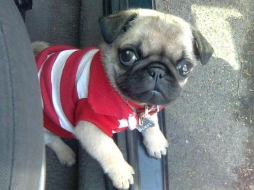 Adorable baby pug in a polo shirt!Preppy Pugs, Baby Pugs He, 3 Pugs,  Pug-Dog, Adorable Baby, Pugs He Wear, Polo Pugs, Pugs Life, Animal