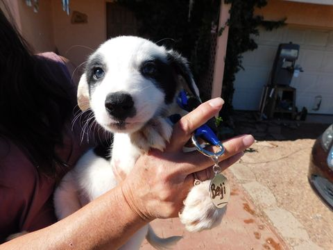 Litter of 8 Border Collie puppies for sale in GREEN VALLEY, AZ. ADN-31346 on PuppyFinder.com Gender: Male. Age: 7 Weeks Old