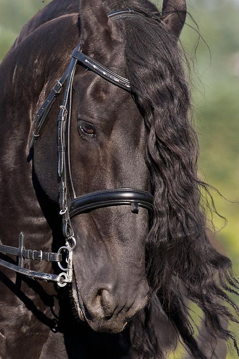 Portrait Of A Friesian by Wes and Dotty Weber