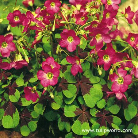 16 best shamrock plants images on pinterest plants shamrock plant and sock - Shamrock indoor plant ...