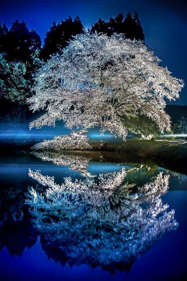 『 川内ジラカンス桜 』 昨年の撮影となります。 桜のライトアップも終わっていたので、 車のヘッドライトにてライトアップし 撮影しました。