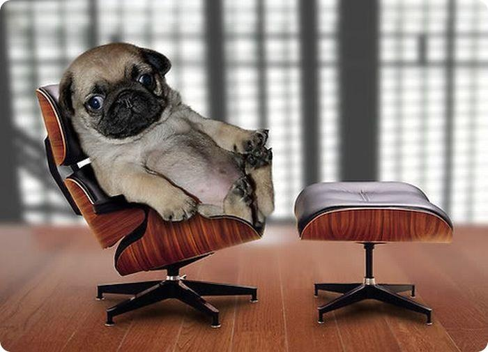 Baby Pug In An Office Chair Yeah Animals Pinterest