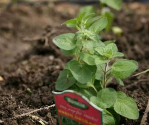 Son mucho más sencillos de cultivar que otro tipo de hortalizas y verduras. ¡Apuesta por ellos!