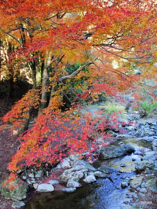 箕面川周辺の紅葉(明治の森 箕面国定公園)