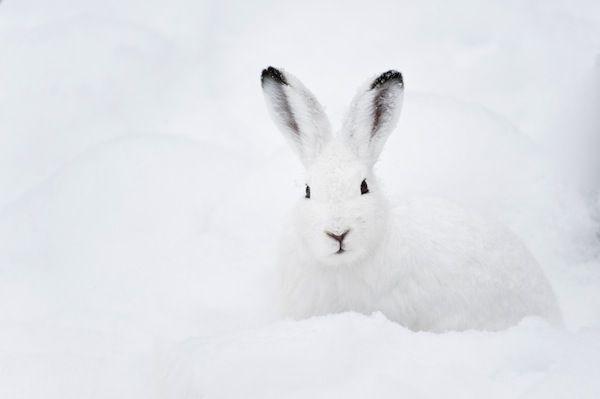 Inmaculada liebre ártica