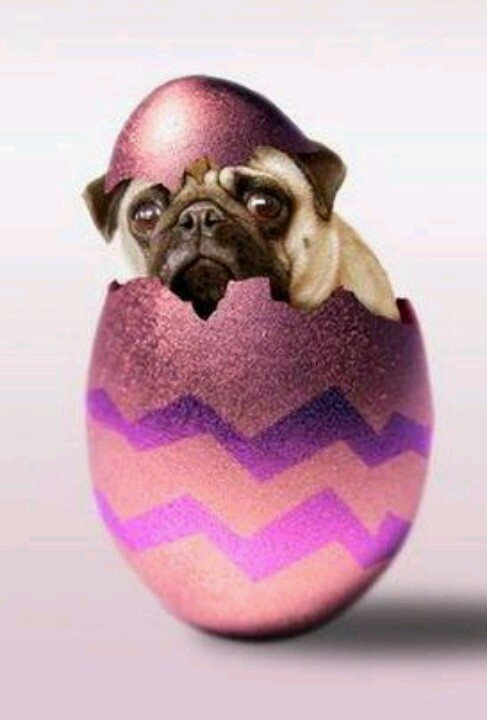 Easter Pug Pictures 103