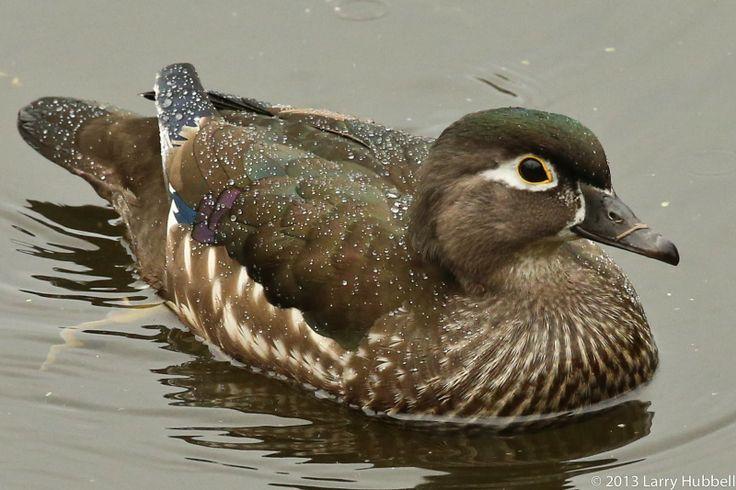 Female Wood duck | Wood duck | Pinterest